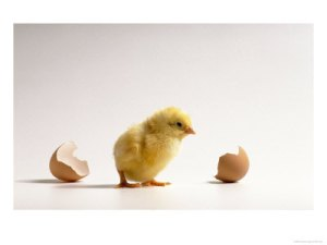 freshly-hatched-baby-chick-with-broken-egg-photographic-print-c12196192